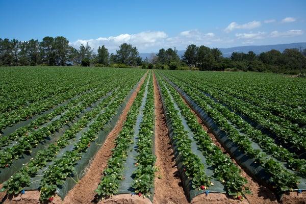 Strawberry-Farm-blog
